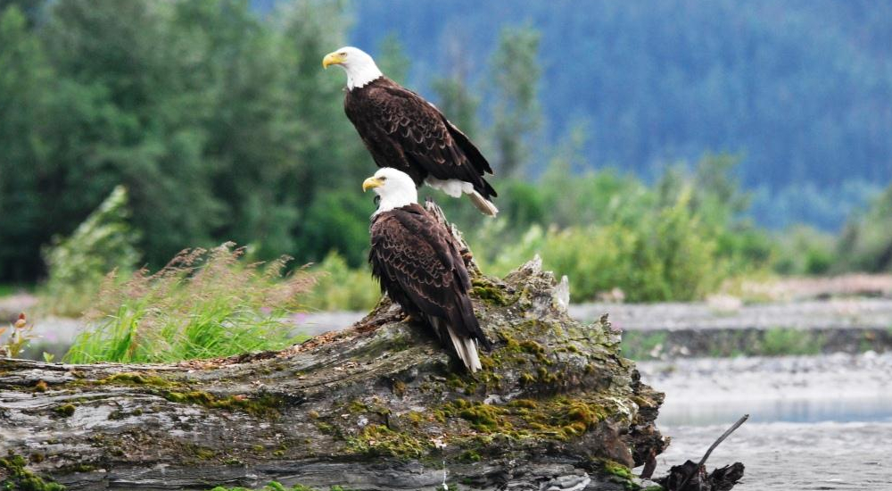 Bald eagles are plentiful on the Tsirku river