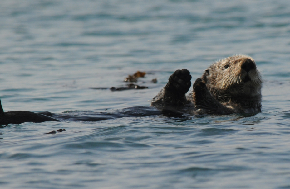 Sea Otters are a common sight in the southern part of Glacier Bay & Point Adolphus