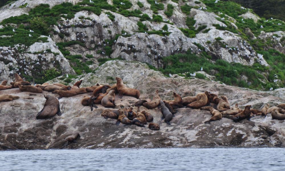A pride of Sea Lions entering into the East Arm of Glacier Bay