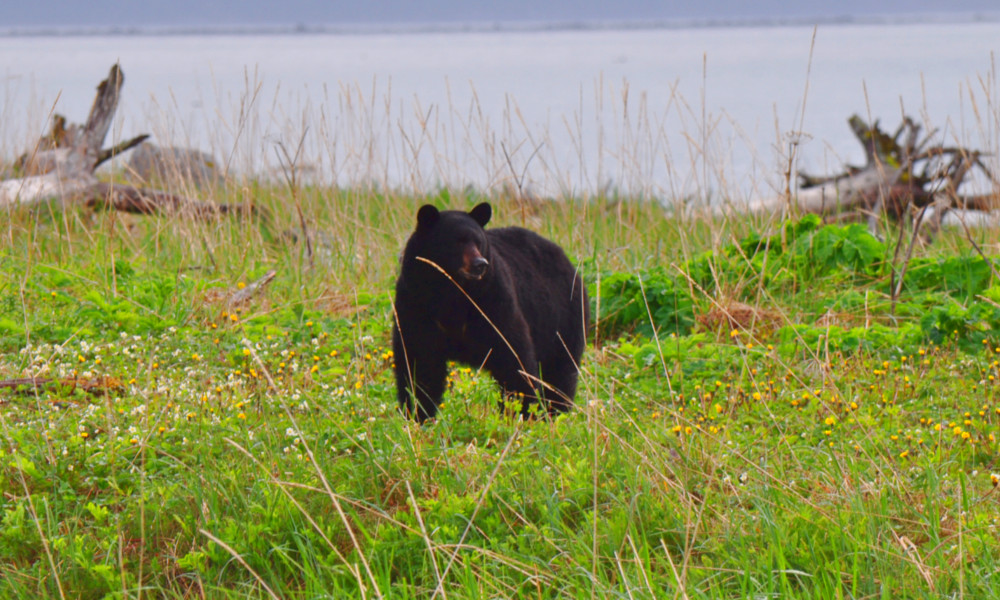 A Black Bear wanders nearby camp in Glacier Bay National Park