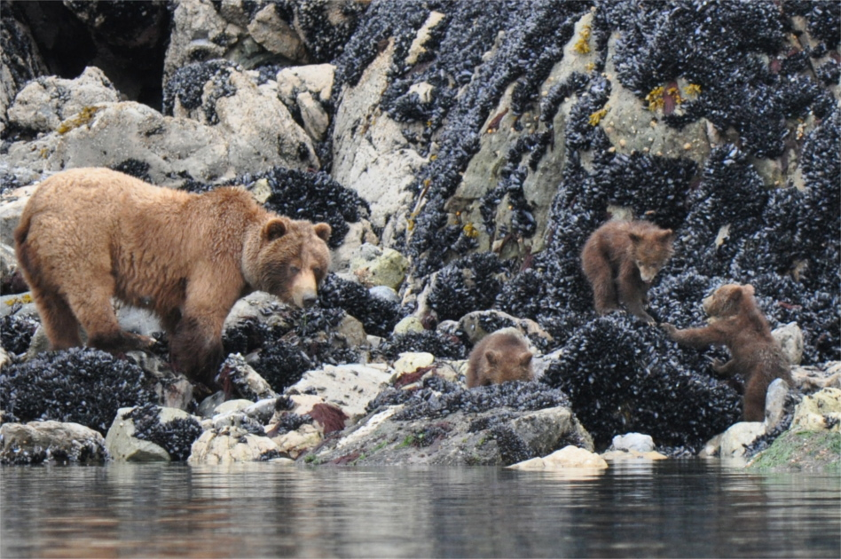 Family of bears feeding off of shellfish along the shoreline